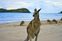 """""""kangaroos at sunrise"""" kangaroos sunrise australia queensland"""