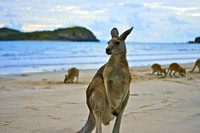 """kangaroos at sunrise"" kangaroos sunrise australia queensland"